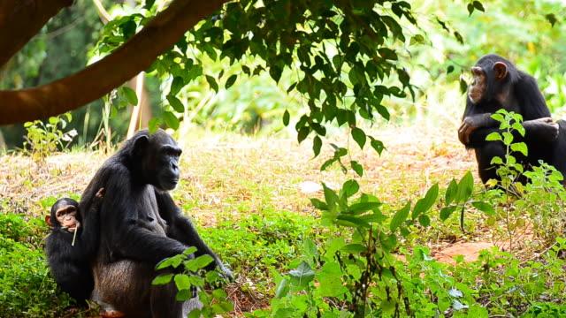 mutter und junge schimpansen - group of animals stock-videos und b-roll-filmmaterial