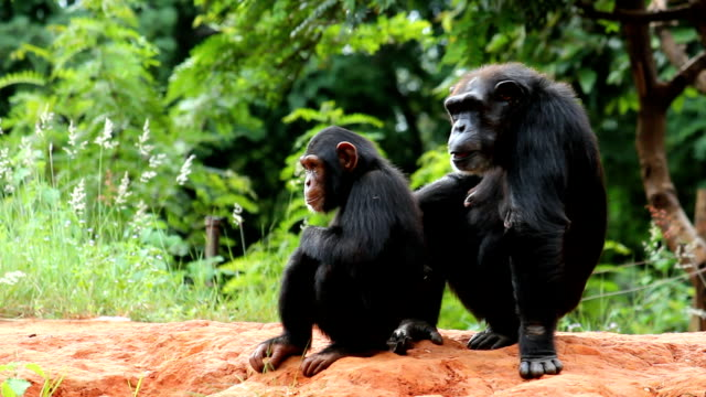 mother and young chimpanzees - chimpanzee stock videos & royalty-free footage