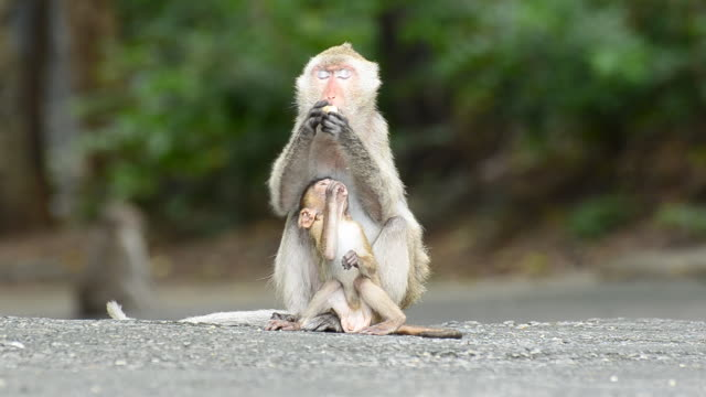 mother and young monkey are eating food - medium group of animals stock videos & royalty-free footage