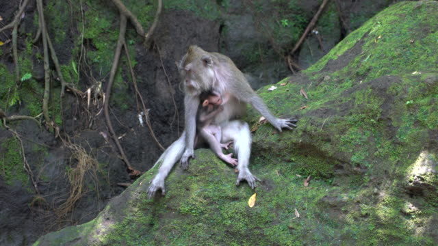 Mother Balinese Long-Tailed Monkey With Her  Baby at The Ubud Monkey Forest, Ubud, Indonesia