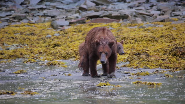 mother bear and two cubs, alaska - cub stock videos & royalty-free footage