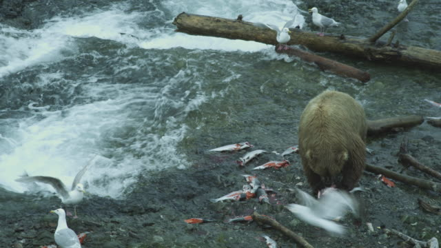 vídeos de stock, filmes e b-roll de mother bear eats salmon next to river, mcneil river game range, alaska, 2011 - onívoro