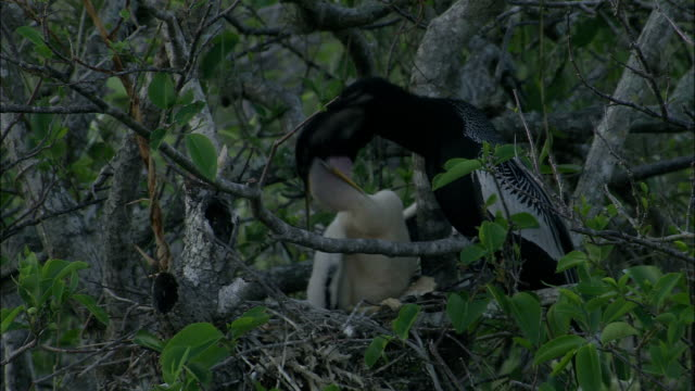 a mother bird feeds it chick. - everglades national park stock videos & royalty-free footage