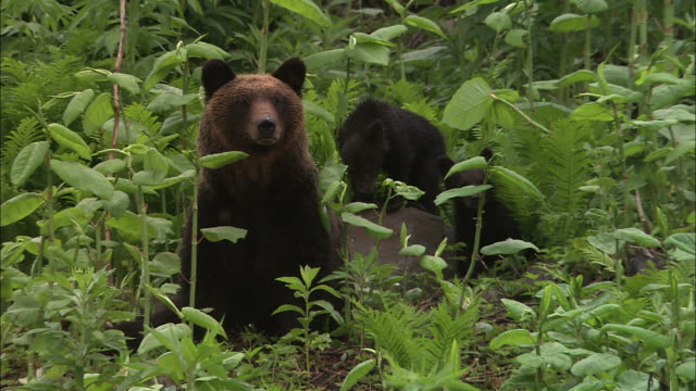 vidéos et rushes de mother brown bear and cubs in hokkaido - ours brun