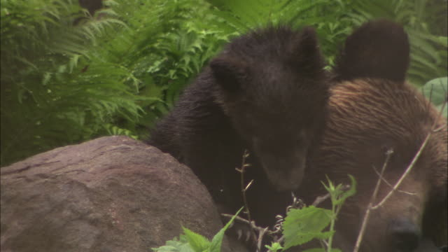 mother brown bear and cubs in hokkaido - bärenjunges stock-videos und b-roll-filmmaterial