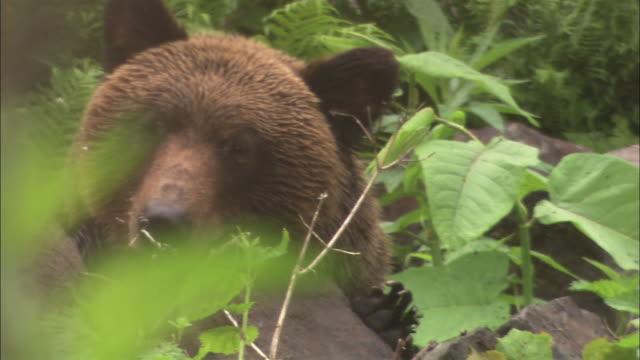 mother brown bear in hokkaido - bärenjunges stock-videos und b-roll-filmmaterial