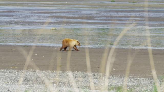 mother brown bear with her cubs hunting katmai - alaska stato usa video stock e b–roll