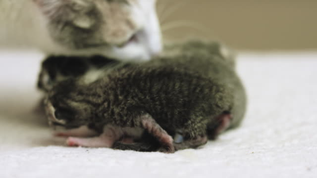 mother cat and her babies - young animal stock videos & royalty-free footage