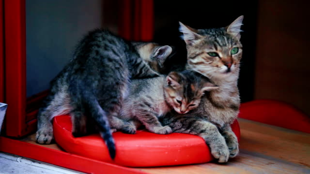 mother cat with babies - animal family stock videos and b-roll footage