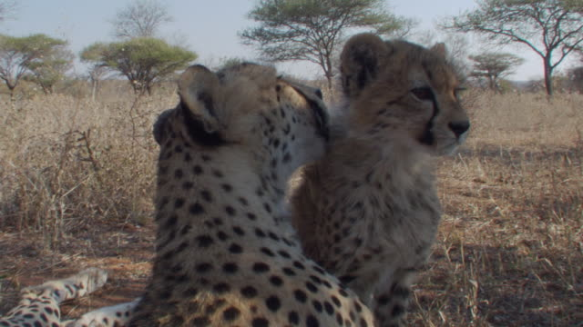 A mother cheetah and cub groom each other. Available in HD.