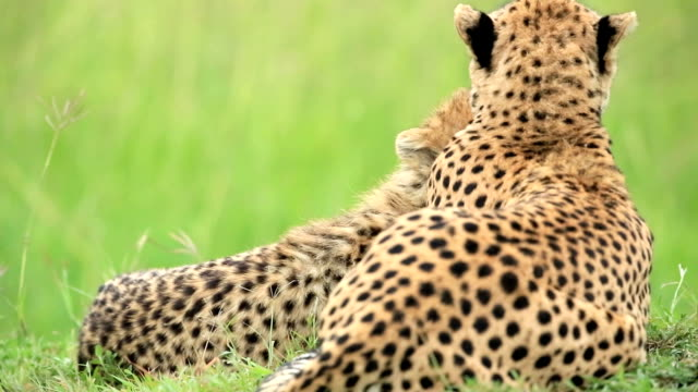 mother cheetah and its baby - cheetah stock videos & royalty-free footage