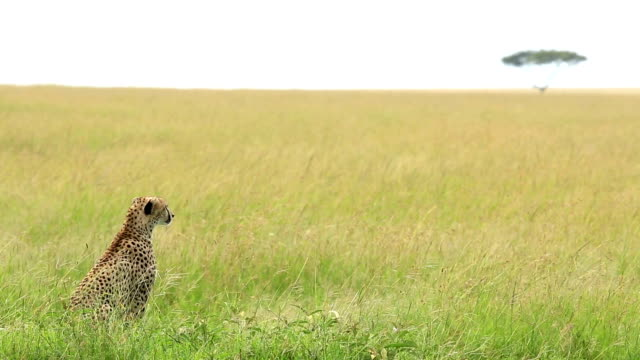 mother cheetah and its baby - cheetah stock videos and b-roll footage