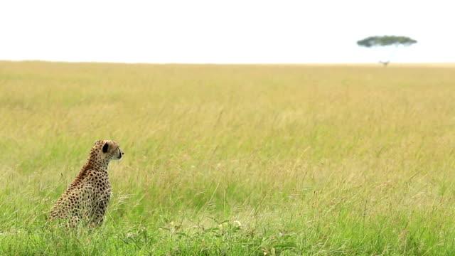Mor Cheetah och dess baby