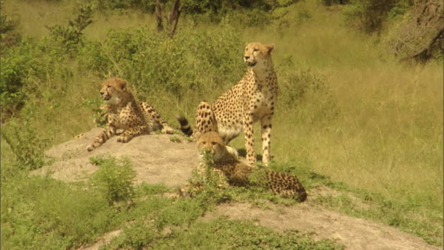 A mother cheetah relaxes with her three cubs in the Mala Mala Game Reserve in South Africa.