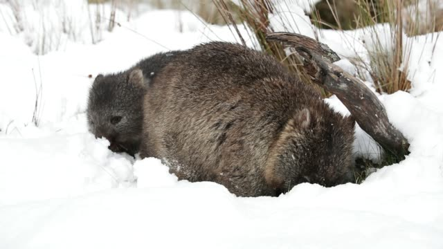 a mother common wombat and baby feeding during the first major winter snowfalls near cradle mountain in tasmania - animal attribute stock videos and b-roll footage