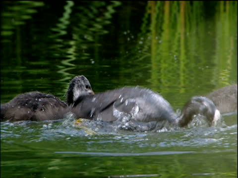 stockvideo's en b-roll-footage met mother coot bobs underwater in to pond to collect food gives it to her chicks cotswolds - koet