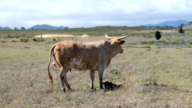 mother cow nurtures her newborn calf - brown stock videos & royalty-free footage