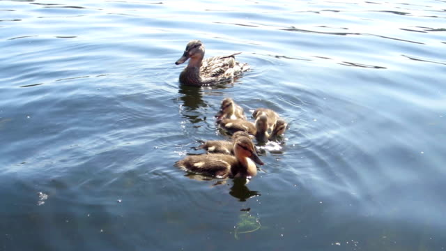 Mother duck and ducklings on a lake