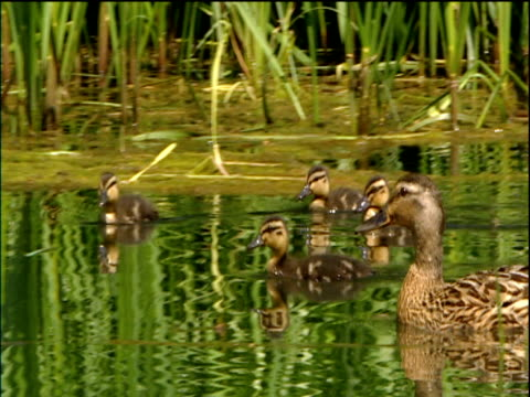 mother duck and her ducklings swim in pond green reeds behind cotswolds - ente wasservogel stock-videos und b-roll-filmmaterial