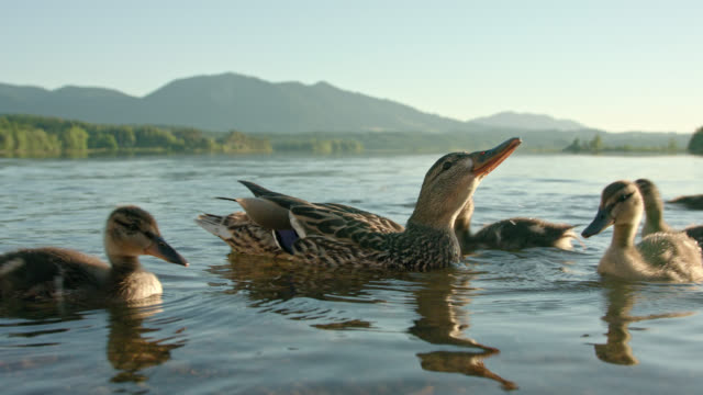 mother duck with her numerous ducklings are swimming in lake staffelsee in foreground and the duck is drinking lake water, a nice mountain panorama in background shot on a nice sunny summer day - anas platyrhynchos - anatra uccello acquatico video stock e b–roll