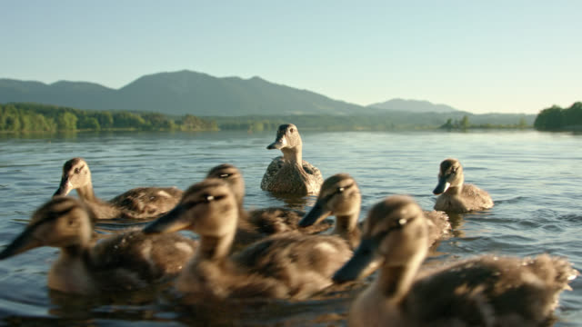 mother duck with her numerous ducklings swimming in lake staffelsee in foreground with a nice mountain panorama in background shot on a nice sunny summer day - anas platyrhynchos - anatra uccello acquatico video stock e b–roll