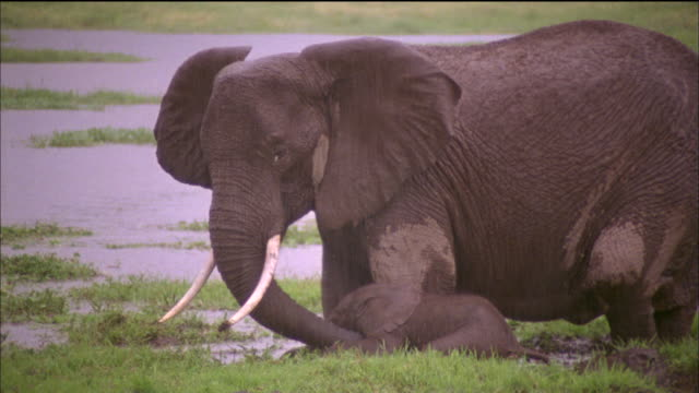 Mother elephant helps infant through swampy ground, Africa Available in HD.