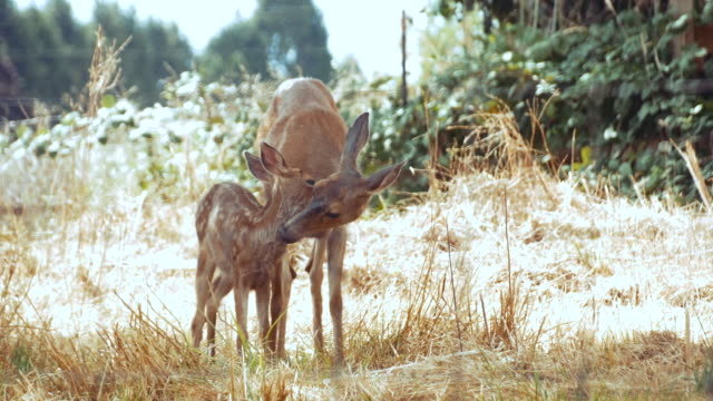 mother & fawn deer pruning each other in grassy meadow - fawn stock videos and b-roll footage