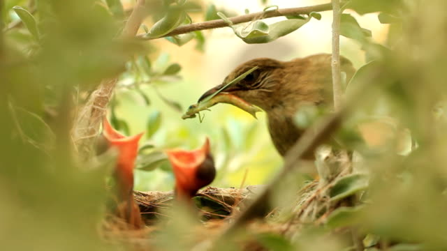 Mother feeding a baby bird in the nest