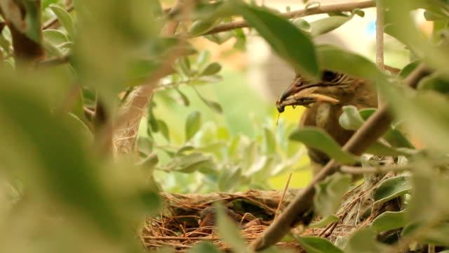 mutter fütterung baby vögel im nest - elster stock-videos und b-roll-filmmaterial