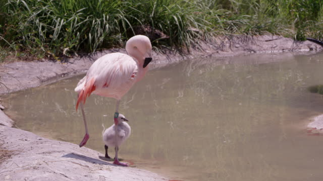 mother flamingo with her chick standing on the edge of a pond - flamingo chick stock videos & royalty-free footage