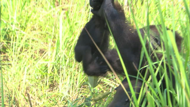 mother gorilla picking up its baby to hold, tropical jungle, congo basin, africa - primate stock videos & royalty-free footage