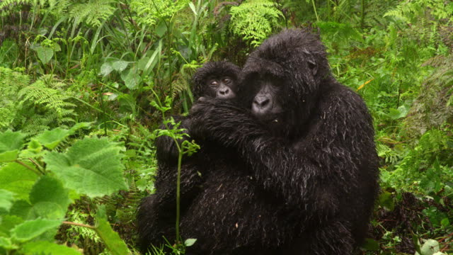 mother gorilla with baby - protection stock videos & royalty-free footage