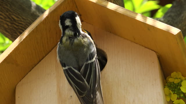 mother great tit (parus major) and a baby in the birdhouse - birdhouse stock videos & royalty-free footage