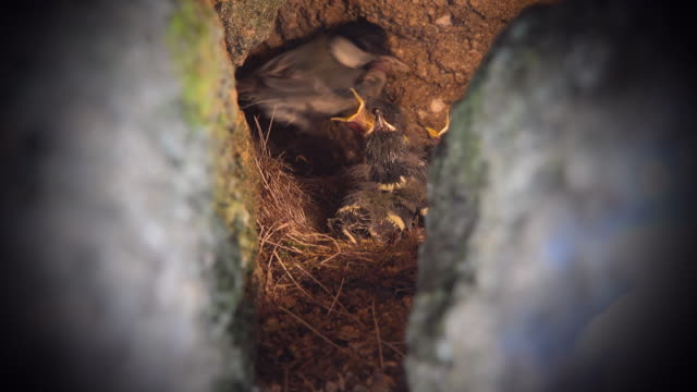 mother great tit bird feeding its babies in the nest - bird's nest stock videos & royalty-free footage