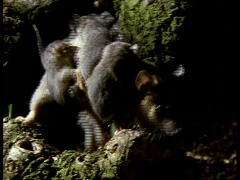 mcu mother grey short-tailed opossum moving across fallen tree branch, zoom in - female animal stock videos & royalty-free footage