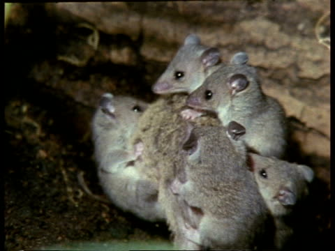 mcu mother grey short-tailed opossum moving around with young on back - young animal stock videos & royalty-free footage