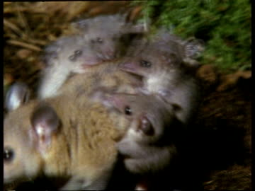 mcu mother grey short-tailed opossum moving around with young on back - 有袋類点の映像素材/bロール