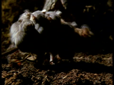 vídeos de stock, filmes e b-roll de mcu mother grey short-tailed opossum moving around with young on back - marsupial