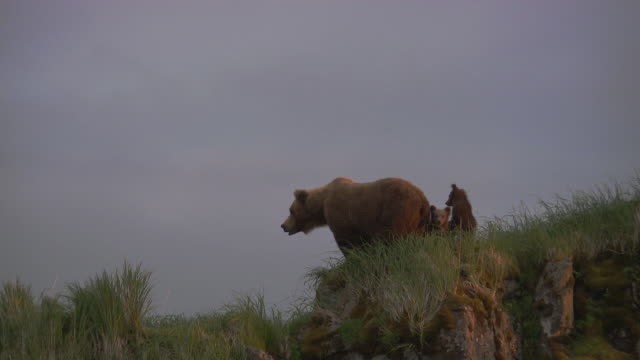 Mother Grizzly with Two Cubs looks down from hill