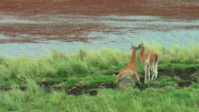 ms, mother guanaco (lama guanicoe) with young at lakeshore, patagonia, argentina - two animals stock videos & royalty-free footage
