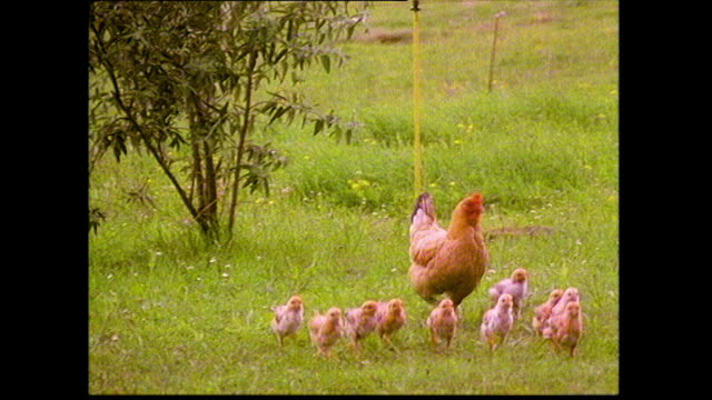 mother hen and chicks in a grass field; 1993 - cute stock videos & royalty-free footage