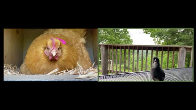 mother hen has a video call with her baby chick - chicken coop stock videos & royalty-free footage