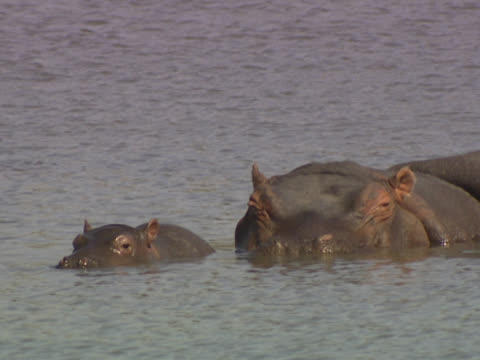 a mother hippopotamus (hippopotamus amphibious) and calf, lying partially submerged in water. the calf moves its head around from side to side, then raises itself up and opens its mouth wide. filmed in motswari, south africa. - großwild stock-videos und b-roll-filmmaterial