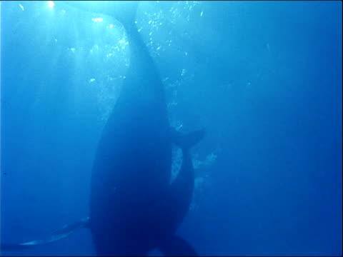 vídeos y material grabado en eventos de stock de a mother humpback whale and calf swim in dark blue water. - cetáceo