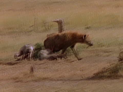 vidéos et rushes de mother hyena walks through the pack to her cubs. - se nourrir des restes