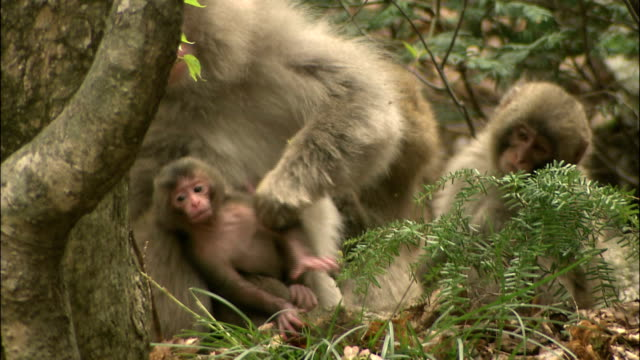vidéos et rushes de mother japanese macaque holds wriggling baby close, mount yarigatake, nagano, japan\n - famille d'animaux