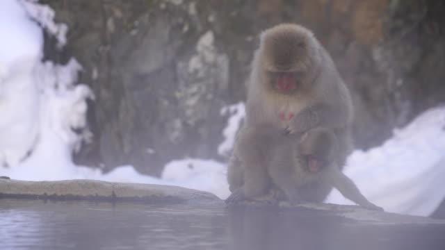 mother japanese snow monkey grooms baby monkey hair at edge of hot spring bathtub among the snowy mountain in jigokudani snow monkey park (jigokudani-yaenkoen) at nagano japan on feb. 21 2019. - large group of animals stock videos & royalty-free footage