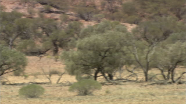 a mother kangaroo and joey hop across the outback. - doe stock videos & royalty-free footage
