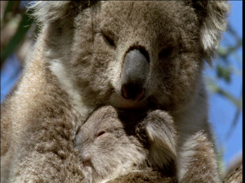 mother koala and her cub snooze in gum tree, victoria - zärtlich stock-videos und b-roll-filmmaterial