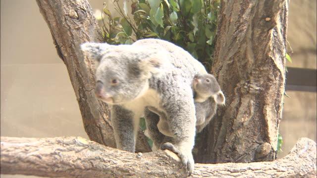 a mother koala and her joey climb on a tree limb. - beuteltier stock-videos und b-roll-filmmaterial
